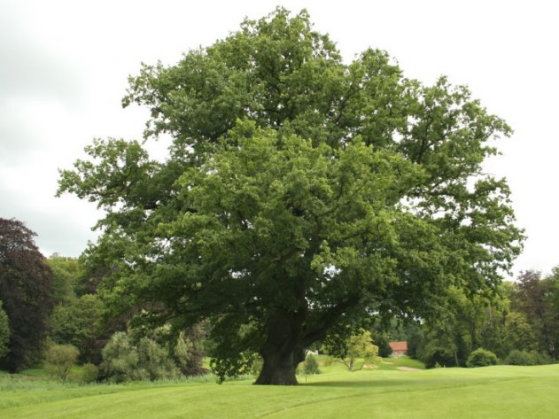 Как посадить дуб в своем саду? Полезные рекомендации и советы